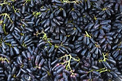 Mėlynosios pailgos besėklės vynuogės
